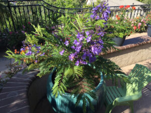 Jacaranda 'Bonsai Blue' in multi-branch form. Fantastic specimen shrub for border accents or patio containers. Semi-evergreen. Prefers full sun. Low water once established and heat tolerant. (Photo: Business Wire)