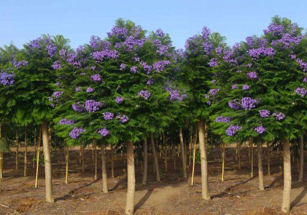 Jacaranda 'Bonsai Blue' supplied by Hochberg EO Plants